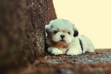 Maltese Puppies HD Wallpaper