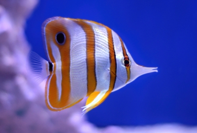 Butterfly Fish HD Wallpapers