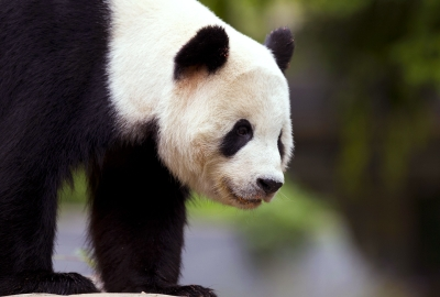 Panda Bear HD Wallpaper