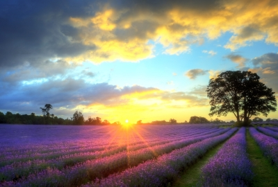 Lavender Fields HD Wallpapers