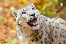 Snow Leopard Wallpaper HD