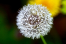Dandelion HD Wallpapers