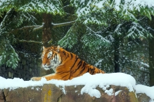 Snow Tiger HD Wallpapers