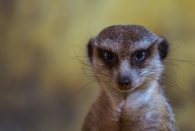 Meerkat HD Wallpaper