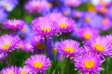 Aster Flowers HD Wallpaper