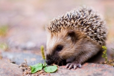 Hedgehog Images 4K