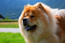 Chow Chow Dog HD Wallpapers