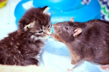 Cat and Rat HD Wallpaper