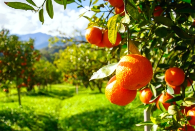 Orange Trees 4K Wallpaper