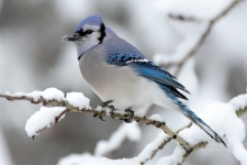 Blue Jay Bird 4K Wallpaper
