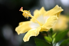 Hibiscus Flower HD Wallpaper