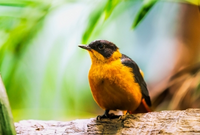 Baltimore Oriole HD Wallpaper