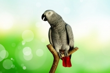 African Grey Parrot 4K Wallpaper