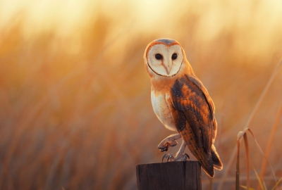 Barn Owl 4K Wallpaper