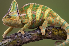Chameleon Lizard HD Wallpapers