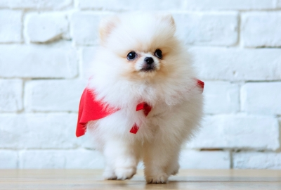 Cute Pomeranian Puppy HD Wallpapers