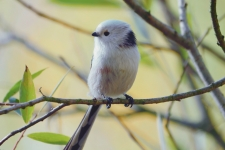 Long Tailed Tit 4K Wallpapers