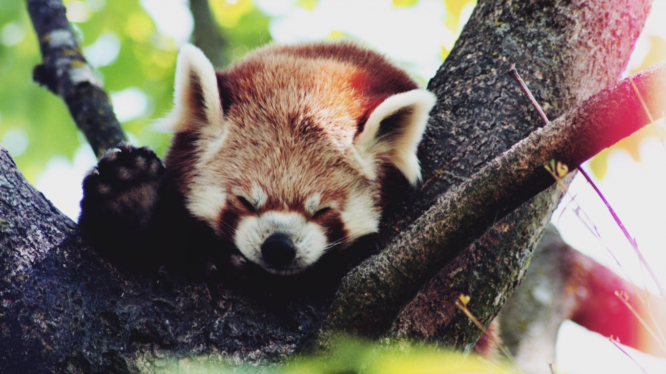 Red Panda 4K Wallpaper
