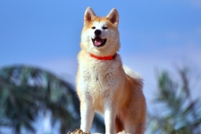 Akita Dog HD Wallpaper