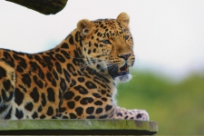 Jaguar Animal HD Wallpaper