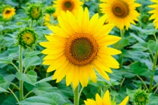 Helianthus 4K Wallpapers