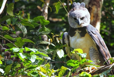 Harpy Eagle 4K Wallpapers