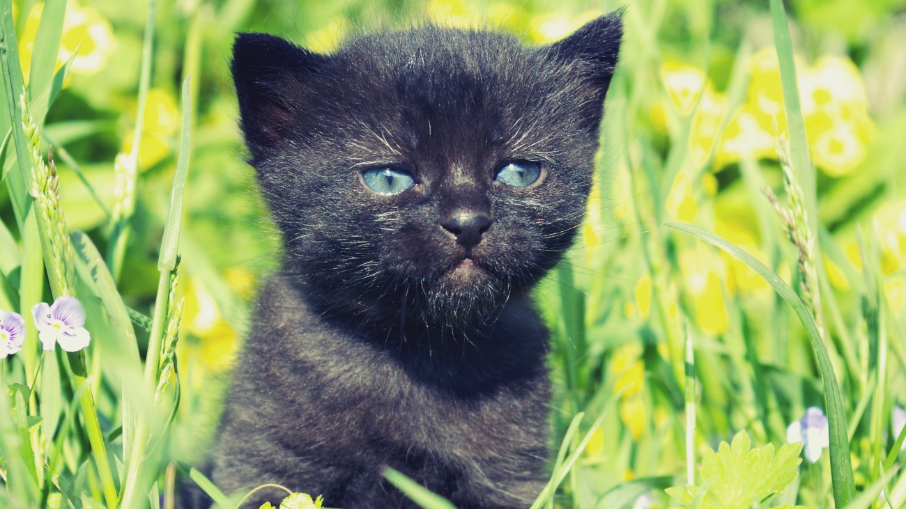 Black Kitten HD Wallpapers