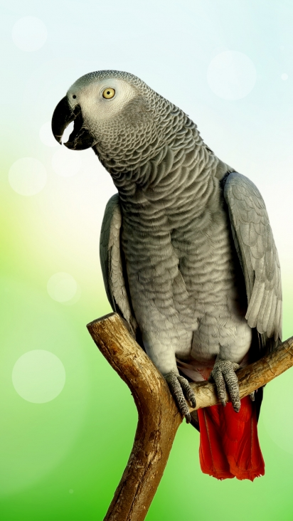 African Grey Parrot Hd Wallpaper